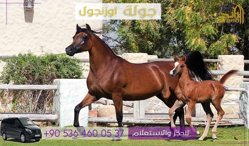 مزرعة الخيول في اوزنجول تركيا